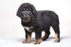一点西藏獒治安警卫-黑和红色小狗  免版税图库摄影