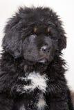 一点西藏獒治安警卫-黑和红色小狗  免版税库存图片