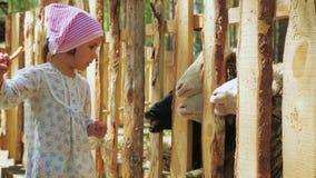 一点逗人喜爱的女孩喂养在农场的绵羊用红萝卜和植物名叶子 股票视频