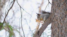 一点逗人喜爱的灰鼠坐一个杉木分支在一个自然公园 股票录像