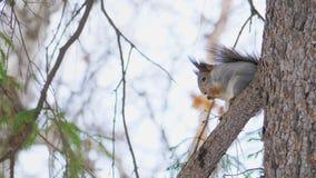 一点逗人喜爱的灰鼠坐一个杉木分支在一个自然公园 影视素材