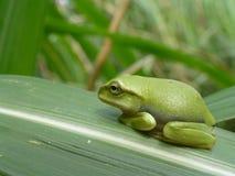 一点逗人喜爱的鲜绿色雨蛙坐手指 免版税库存图片
