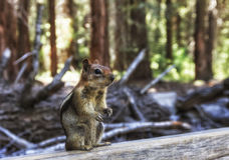 一点金黄被覆盖的地松鼠在美国加州红杉森林里 免版税库存照片