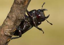 一点锹虫多克斯parallelipipedus在捷克 免版税库存图片