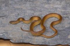 一点镶边收缩的蛇, Liopeltis calamaria,罕见 免版税库存照片
