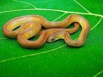 一点镶边收缩的蛇, Liopeltis calamaria,萨塔拉,马哈拉施特拉 免版税库存图片