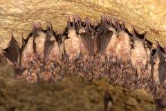 一点马蹄型蝙蝠 库存照片