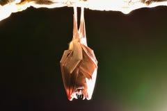 一点马蹄型蝙蝠 库存图片