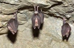 一点马蹄型蝙蝠(Rhinolophus蹄蝠属) 免版税图库摄影