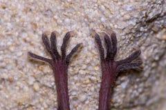 一点马蹄型蝙蝠& x28; Rhinolophus hipposideros& x29;脚 免版税库存照片