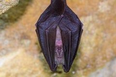 一点马蹄型蝙蝠& x28; Rhinolophus hipposideros& x29;身体接近  库存图片