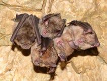 一点马蹄型蝙蝠Rhinolophus蹄蝠属 库存照片