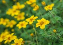 一点黄色花在庭院里 库存图片