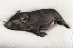 一点黑色猪休眠 免版税库存图片