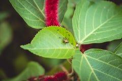 一点黑蚂蚁扯拽在植物叶子的昆虫 库存照片