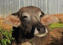 一点水牛的头 库存照片