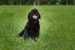一点黑色拉布拉多小狗打呵欠坐绿草 免版税库存照片