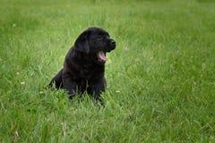 一点黑色拉布拉多小狗打呵欠坐绿草 库存图片