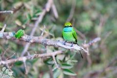 一点绿色食蜂鸟鸟 免版税库存照片