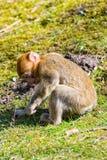 一点巴巴里人猴子单独坐草甸 库存照片