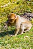 一点巴巴里人猴子单独坐草甸 库存图片
