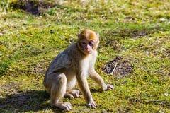 一点巴巴里人猴子单独坐草甸 免版税库存图片