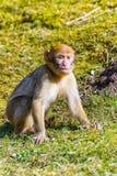 一点巴巴里人猴子单独坐草甸 免版税库存照片