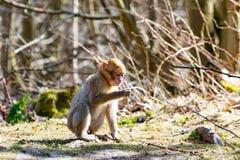 一点巴巴里人猴子单独坐草甸 免版税图库摄影