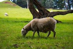 一点Bo Peep's丢失了绵羊 免版税库存图片