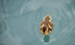 一点cutie鸭子 库存图片