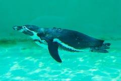 一点gumboldt企鹅单独漂浮 库存照片