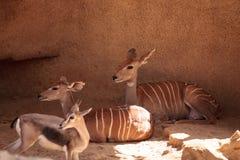 一点Kudu叫Tragelaphus imberbis 图库摄影