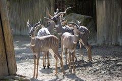 一点Kudu,非洲羚羊类imberbis有五颜六色的线状 免版税库存图片