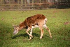 一点mouflon 免版税图库摄影