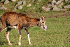 一点mouflon 库存图片