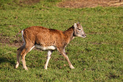 一点mouflon 免版税库存图片