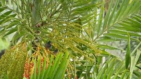 一点mynas坐热带树在雨中 灰色mynas鸟小群看法坐绿色棕榈树掩藏 股票录像