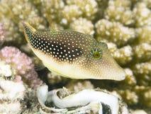 一点pufferfish 库存照片