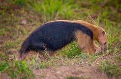一点tamandua食物的黄昏狩猎 免版税库存图片