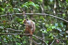 一点wilde青猴或guenons描绘雨林的风景 库存图片