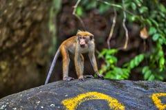 一点wilde青猴或guenons描绘雨林的风景 免版税库存图片