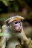 一点wilde青猴或guenons描绘雨林的风景 免版税图库摄影