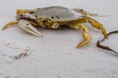 一爪螃蟹 免版税库存照片