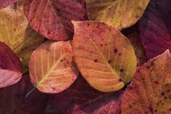 一片五颜六色的秋天叶子的极端特写镜头宏指令有美好的detai的 免版税库存图片