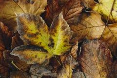 一片五颜六色的秋天叶子的极端特写镜头宏指令有美好的detai的 库存图片