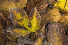一片五颜六色的秋天叶子的极端特写镜头宏指令有美好的detai的 库存照片