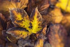 一片五颜六色的秋天叶子的极端特写镜头宏指令有美好的detai的 免版税库存照片