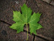 一片划分为的叶子 图库摄影