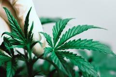一片医疗专业和大麻叶子的手是在植被植物医疗大麻的小宏观射击 库存图片