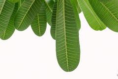 一片叶子的后面在白色背景的 免版税图库摄影